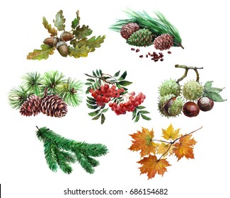 Watercolor set of plant acorn, chestnut, maple leaf, Rowan, cedar, cones,  tree needles isolated on white background.