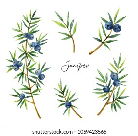 Watercolor set plants juniper isolated on white background. Botanical illustration with berries and branches.