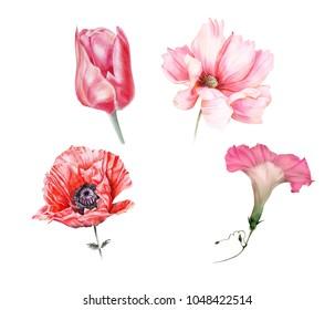 Watercolor set of red garden flowers: ipomoea, poppy, tulip and cosmos