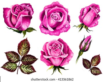 Watercolor set roses flowers, buds, green leaves closeup isolated on white background. Hand painting on paper