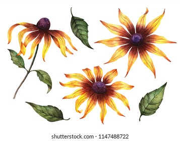 Watercolor set of rudbeckia flowers, hand painted botanical illustration isolated on a white background.