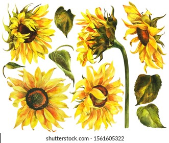 Watercolor set of sunflowers, hand drawn floral stock illustration isolated on white background, botanical painting.