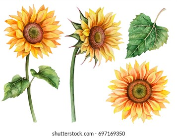 Watercolor set of sunflowers, hand drawn floral illustration isolated on white background.