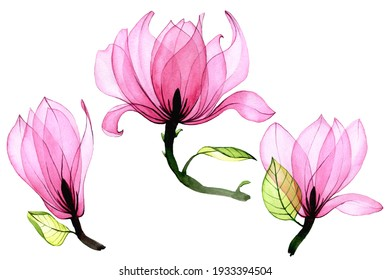 watercolor set of transparent magnolia flowers. collection of pink magnolia flowers isolated on white background. vintage drawing, elements for delicate design wedding, invitation, congratulation