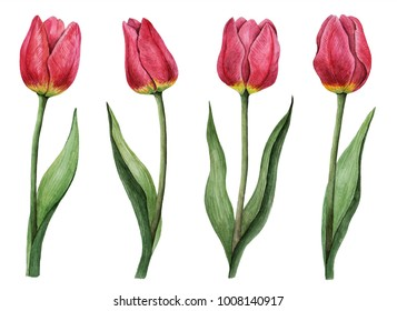 Watercolor set of tulips, hand drawn illustration of spring flowers, floral elements isolated on a white background.