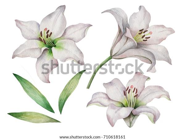 Акварельный набор из белых лилий, рисованная вручную иллюстрация цветов, изолированных на белом фоне.