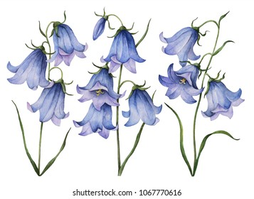 Watercolor set of wild flowers, hand drawn illustration of bluebells isolated on a white background.