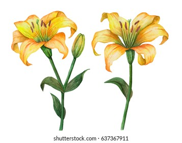 Watercolor set of yellow lily flowers, hand drawn floral illustration isolated on white background, can be used for cards and invitations.