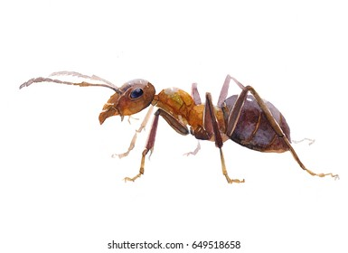 Watercolor single ant insect animal isolated on a white background illustration.