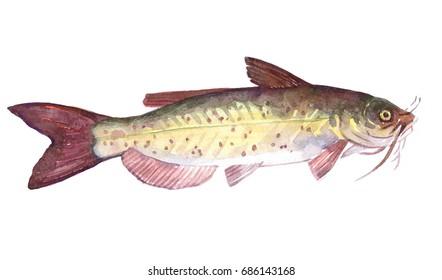 Watercolor single Catfish fish animal isolated on a white background illustration.