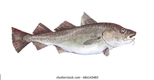 Watercolor single cod fish animal isolated on a white background illustration.