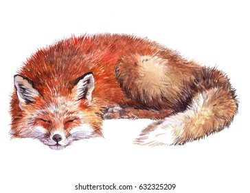 Watercolor single Fox animal isolated on a white background illustration.