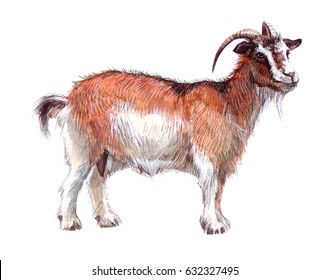 Watercolor single goat animal isolated on a white background illustration.