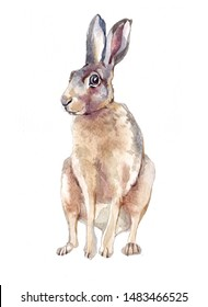 Watercolor single hare animal isolated on a white background illustration.