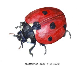 Watercolor single ladybug insect animal isolated on a white background illustration.