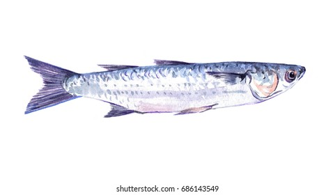 Watercolor single mullet fish animal isolated on a white background illustration.