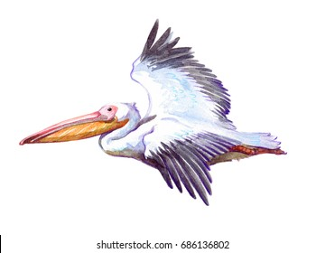 Watercolor single pelican animal isolated on a white background illustration.