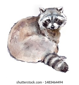 Watercolor single raccoon animal isolated on a white background illustration.