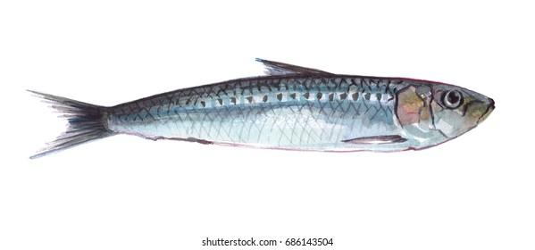 Watercolor single sardine fish animal isolated on a white background illustration.