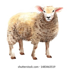 Watercolor single sheep animal isolated on a white background illustration.