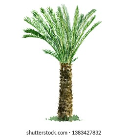 watercolor sketch of date palm tree, hand drawn illustration