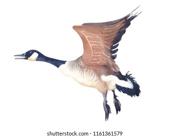 Watercolor sketch of Flying Canada goose on a white background. Hand drawn illustration.