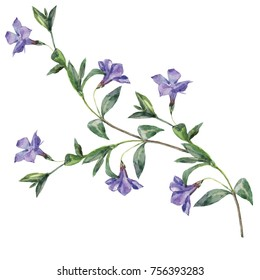 Watercolor sprig of Periwinkle.