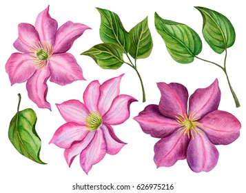 Watercolor spring flowers, hand drawn floral illustration, set of clematises and leaves isolated on white background.