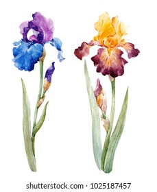 watercolor spring flowers set blue and yellow iris