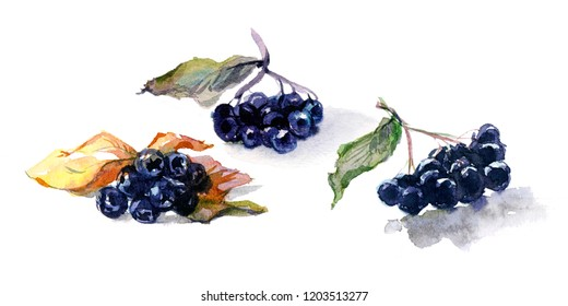 Watercolor still-life from fresh berry black aronia