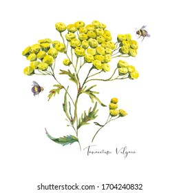Watercolor summer meadow flowers, yellow wildflowers. Botanical floral elements isolated on white background, Tansy Tanacetum vulgare natural objects. Medicinal flowers collection