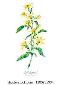 Watercolor summer medicinal flowers, wildflowers. Botanical illustration isolated on white background, natural floral greeting card. Goldenrod plant