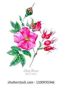 Watercolor summer medicinal flowers, wildflowers. Botanical illustration isolated on white background, natural floral greeting card. Dog Rose plant