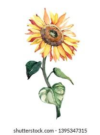 Watercolor sunflower flower oil  illustration isolated on white background