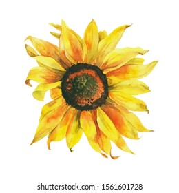 Watercolor sunflower, hand painted floral stock illustration, botanical painting isolated on a white background.