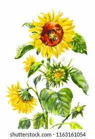 Watercolor sunflower. Vintage hand-drawn illustration of yellow flower isolated on white.