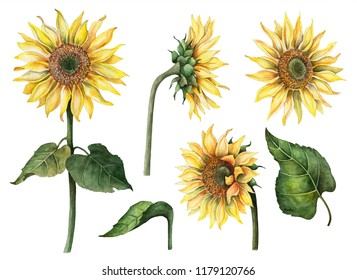 Watercolor sunflowers set, hand painted floral illustration, botanical elements isolated on a white background.