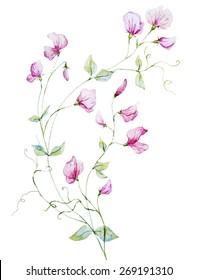 Watercolor, , sweet peas, pink, flower