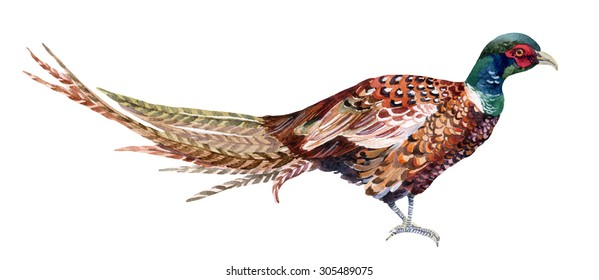 Watercolor Swinhoe pheasant. Hand painted illustration