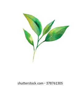 watercolor tea leaves isolated