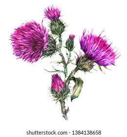 Watercolor thistle, wild flowers illustration, meadow herbs. Vintage watercolor botanical illustration isolated on white background