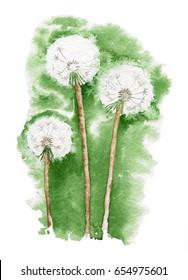 Watercolor three white dandelion.