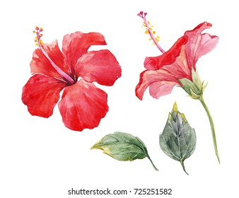Watercolor tropical flower red  hibiscus with leaves.  Set of isolated plant objects