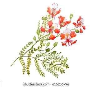 Watercolor Tropical flower   Royal Poinciana. Delonix regia