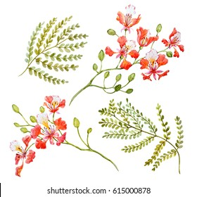 Watercolor Tropical flower set  Royal Poinciana. Delonix regia