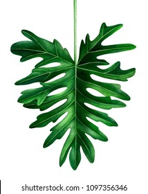 Watercolor tropical leaf isolated on white background. Botanical illustration of Philodendron Selloum leaf.