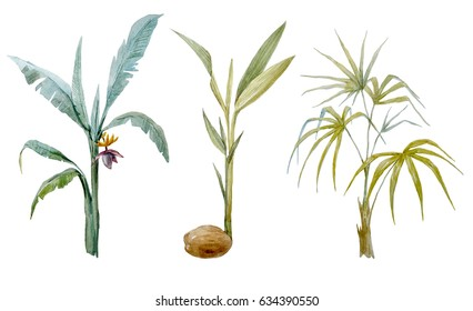 Watercolor tropical palm set. A banana palm tree. coconut palm