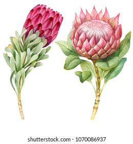 Watercolor tropical  protea flowers.