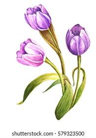 Watercolor tulips