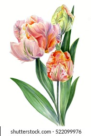 Watercolor tulips Parrot lady isolated on white background
